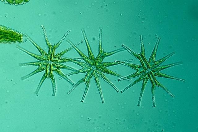Micrasterias radiata (Desmidiaceae)